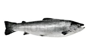 1964295-big-salmon-fish-isolated-on-white-background